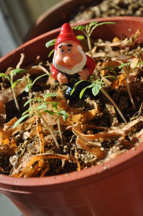 GnoGno con Tomates and vegetable mulch