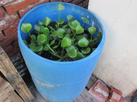 recoleccion de agua tacho camalotes enero 2014 - 05