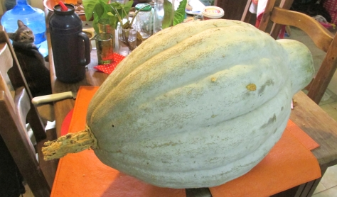 abu zapallo pumpkin food comida cosecha 02 small crop