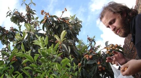 coco cosechando nisperos 5 small crop