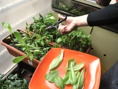 depto cosecha 07 lechuga small crop