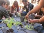 Hacemos separaciones de plantines de apio en el patio de la Casona Dadá. Curso de Certificación de Diseño en Permacultura 2014.